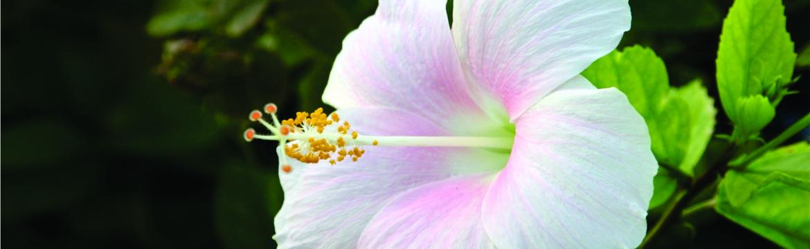 Image of a white hibiscus flower