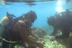 The University of Guam Marine Laboratory was authorized by the Department of Agriculture to relocate corals from the ramp to a nearby reef.