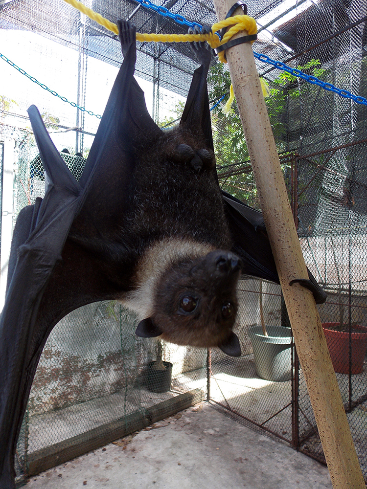 Marianas fruit bat