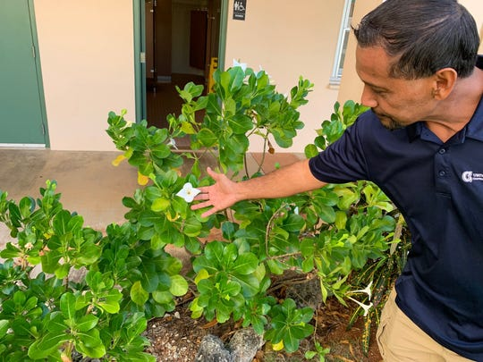 A UOG extension agent displays a Guasali flower growing outside his office at the Mangilao campus.