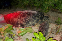 A sea turtle named Satin was found and tagged