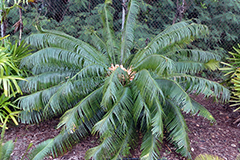 A healthy female Cycas micronesica plant growing at the University of Guam was rescued from a construction site by use of a large stem cutting. Protecting the wound on the cutting with a sealant was part of the successful protocol that the scientists used to achieve success.
