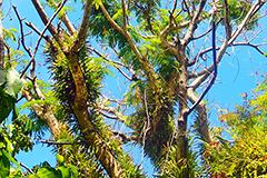 Serianthes tree