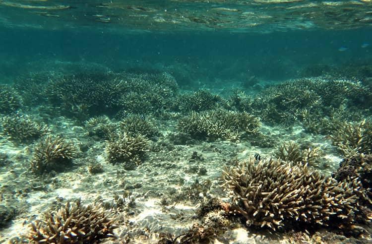 Bleached staghorn corals in the reef flat off Hagåtña
