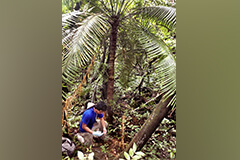 UOG Research Associate collects soil samples beneath a Cycas micronesica tree