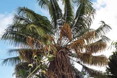A paper written by researchers at the Western Pacific Tropical Research Center highlights extinction risks of cycad species in U.S. controlled lands.