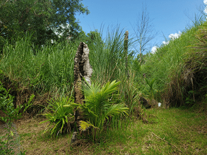 The CRB damage surveys use an innovative method developed by University of Guam Professor Aubrey Moore.