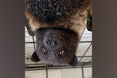 A Mariana fruit bat, or fanihi, hangs upside down in its cage.