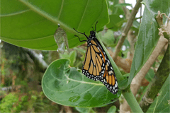 Butterflies serve ecological roles as pollinators for plants and food sources for lizards, spiders, and more.
