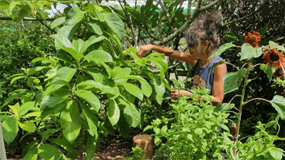 UOG Extension Associate Phoebe Wall says it's possible to grow all sorts of veggies with knowledge and perseverance.