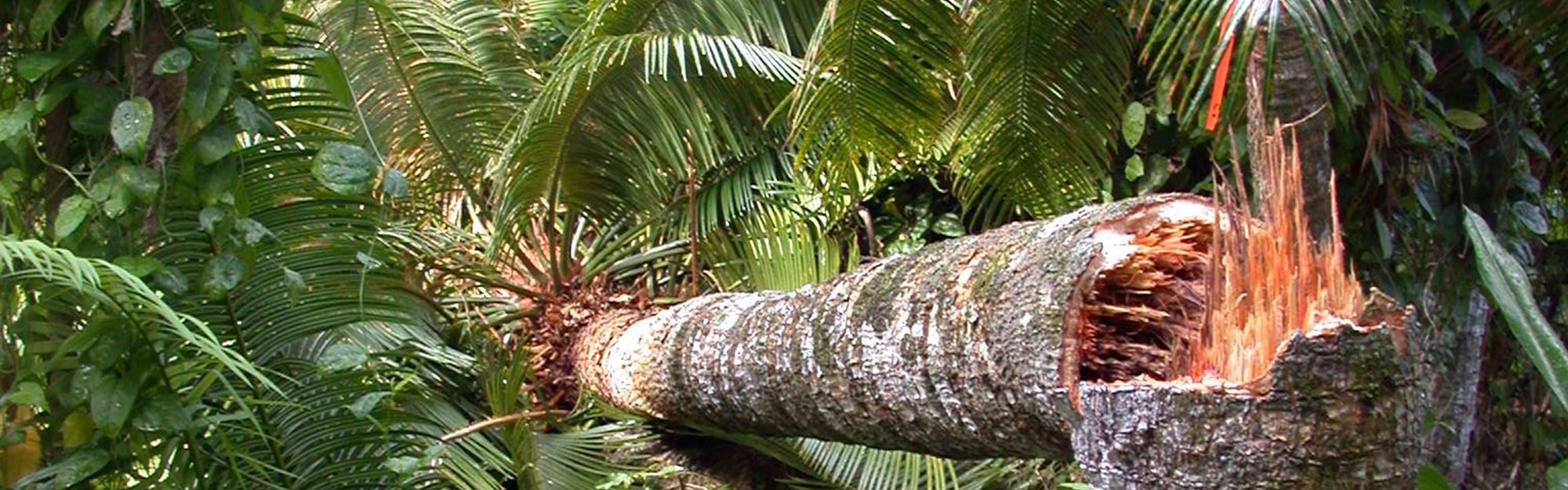 Damage to cycads from cycad scale and butterflies cause a reduction in stem strength.