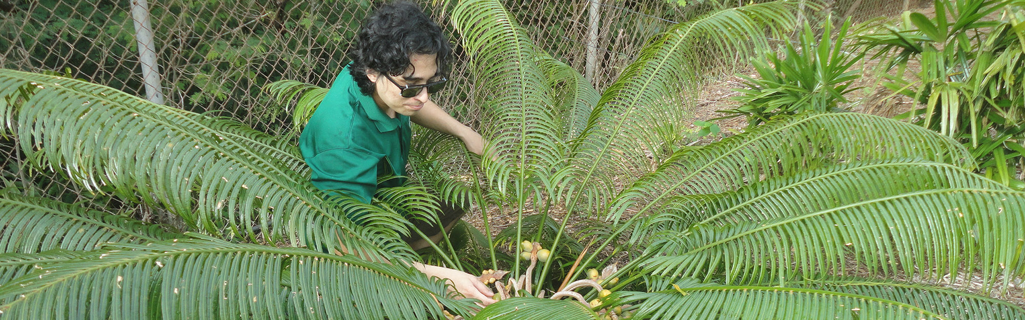 Graduate stdent Benjamin Deloso cares for an endangered Cycas micronesica which is endemic to Guam.