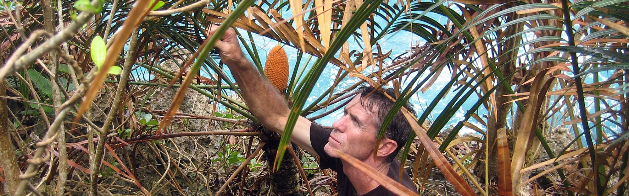 Professor Marler looks for beetles that form a mutualism with Cycas edentata,