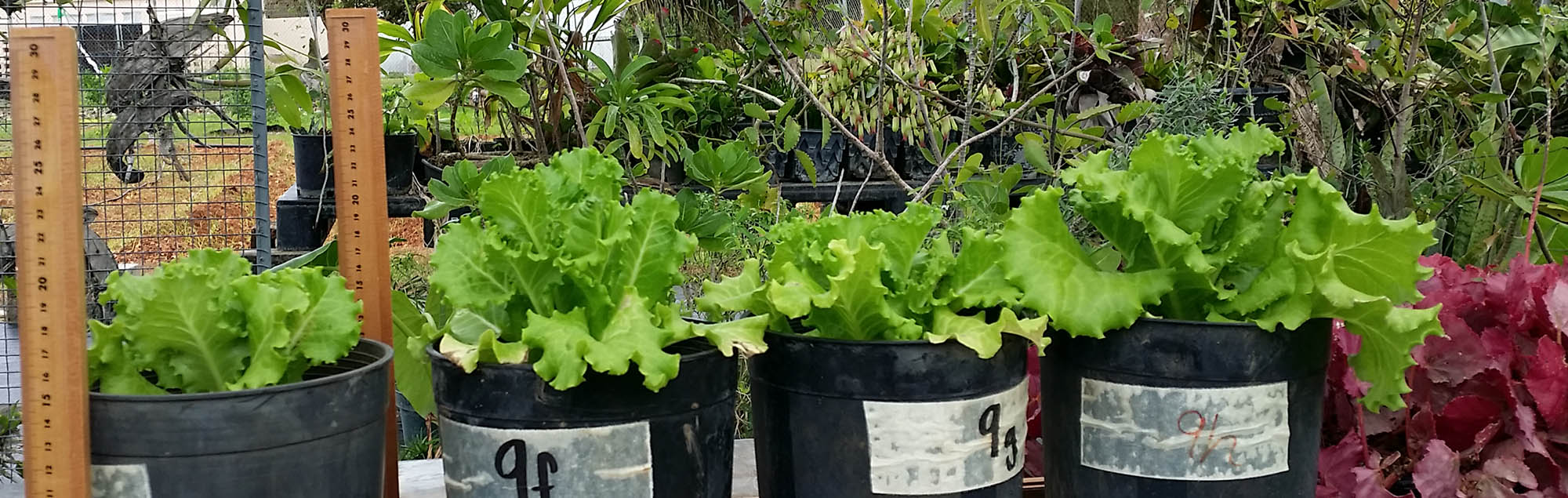 Lettuce trials